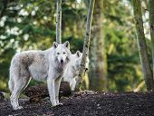 image of white wolf  - Two white arctic wolfs in the woods - JPG