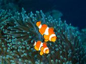foto of cebu  - Underwater inhabitants of sea depths of strait Cebu - JPG