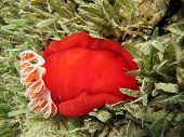 Spanish dancer in seagrass