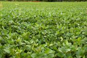 A green soybean field