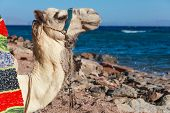 Portrait of a camel on the coast in Dahab, Egypt.