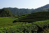 Tea plantation in Fujian Province, China