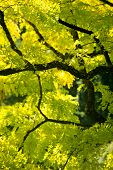 image of ash-tree  - Bright green ash tree leaves against the dark brown branches of an ash tree at Butchart Gardens in British Columbia Canada on a sunny summer - JPG
