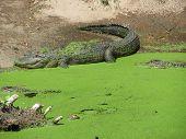 alligator couple