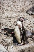 Pair Of A Humboldt Penguins