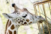 Rothschild's Giraffe Eats Dried Hay