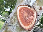 Concentric Rings In The Wood Of Tree Trunk