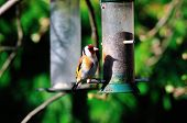stock photo of goldfinches  - A Goldfinch on one of my Niger seed feeders at the bottom of my urban garden - JPG
