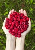 a handful of ripe raspberries close up top view on a background of summer green