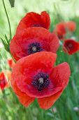 pic of opiate  - Red poppies on a meadow close up