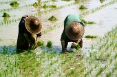 Myanmar Farmer Working In Ricefield.