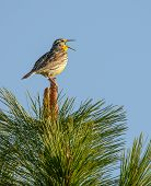 image of meadowlark  - Western meadowlark sings from top of Ponderosa Pine tree - JPG