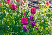 stock photo of garden eden  - Beautiful tulip meadow in spring garden selective focus - JPG