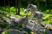 image of north american gray wolf  - A small wolf pack with three wolves gathered on rocks in a Canadian forest in the foreground and one wolf approaching in the distance - JPG