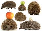 Collage of cute hedgehog isolated on white