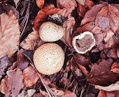 Common Earth Ball Scleroderma Citrium Mushrooms