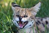 Angry Serval Wild Cat