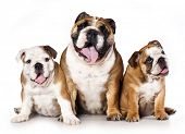 big and small dog, english bulldog father and  puppy on white background