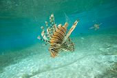 image of lion-fish  - Lion fish swimming under water - JPG