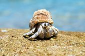 foto of hermit  - Hermit Crab in a screw shell - JPG