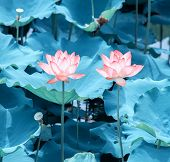 pink lotus flower in blooming