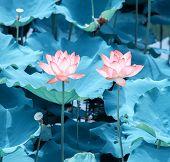 pink lotus flower in blooming