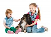 picture of sheltie  - children playing with a dog breed sheltie on white background - JPG