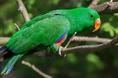 Close-up view of an adult male Eclectus Parrot