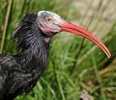 Portrait view of a Hermit Ibis
