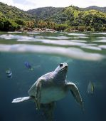 Sea turtle in front of a tropical Beach