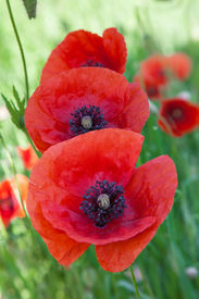 pic of opiate  - Red poppies on a meadow close up  - JPG