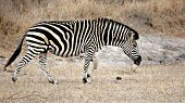 Zebra, Sabi Sands, Kruger National Park