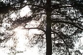 Silhouette Of The Coniferous Tree