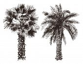 picture of washingtonia  - 2 hand drawn palm trees in retro style - JPG