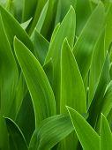 Leaves  Flower  Gladiolus