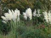 stock photo of pampas grass  - Pampas Grass with white feathery white plumes blowing in the autumn breeze - JPG
