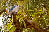 stock photo of kookaburra  - Australian Kookaburra bird standing on a tree - JPG