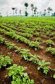 picture of rich soil  - Potato fields in Rwanda near the volcanoes in very rich soil for great crops - JPG