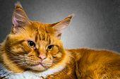 Maine Coon Red Orange Cat Portrait