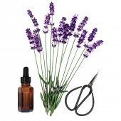 Lavender herb flower stems with aromatherapy essential oil bottle and scissors over white background. Lavandula angustifolia.