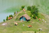 herd of cows are pasturing along Uvac River bank, Serbia