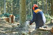 Lumberjack logger worker in protective gear cutting firewood timber tree in forest with chainsaw