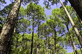 Florida pine forest