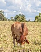 The Cow In Farmland Is Grazing Next To Windmill Farm On A Bright Sunny Day .