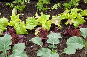 pic of rutabaga  - Close up of a vegetable garden with different vegetables - JPG