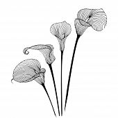 stock photo of calla  - Calla flower illustration on simple white background - JPG