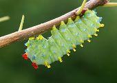 Cecropia Moth caterpillar, Hyalophora cecropia