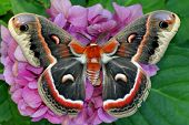 stock photo of hydrangea  - The beautiful giant silk moth butterfly called Cecropia Moth - JPG