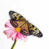 Beautiful Plain Tiger Butterfly Perching
