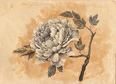 Drawn By Hand Card, Peony Flower